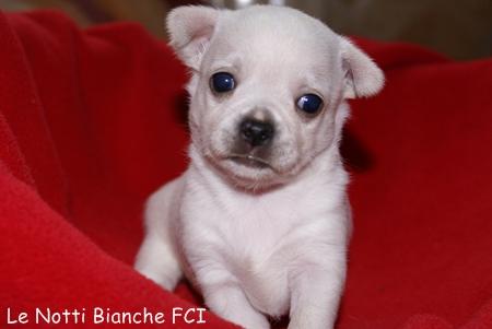 Pieski Chihuahua Z Rodowodem Fci 3