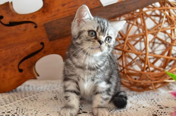 Koteczka Brytyjska - Tzw. Whiskas
