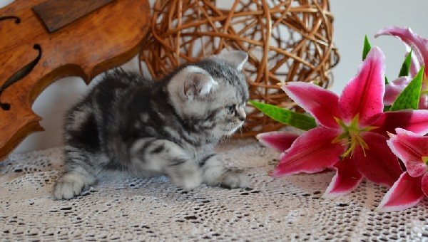 Koteczka Brytyjska - Tzw. Whiskas 2