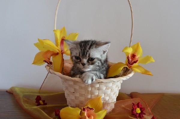 Koteczka Brytyjska - Tzw. Whiskas 4