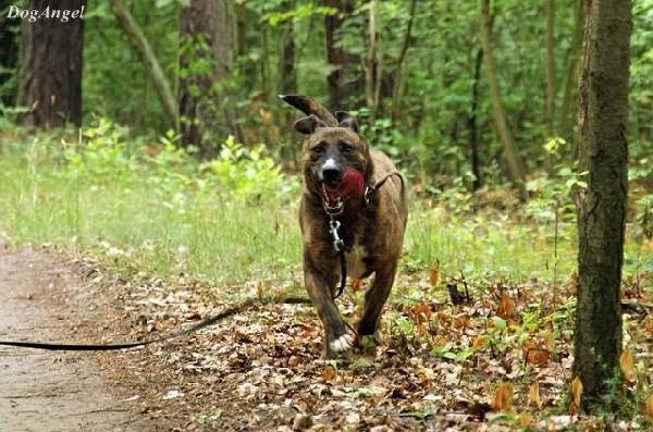 Naszor- Młody, Bullowaty Pies Szuka Domu 4
